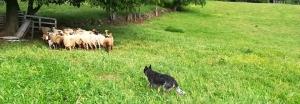 Sheepdog & Farmwork Altissimo